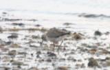 Golden Plover  - showing undertail coverts -Duxbury Beach MA