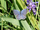Eastern Tailed Blue (Everes comyntas)