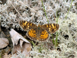 Northern Crescent (Phyciodes cocyta) - female