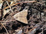 Common Oak Moth (Phoberia atomaris) Hodges #8591