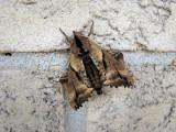Blinded Sphinx (Paonias excaecatus)Hodges #7824