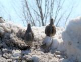 Gray Partridges