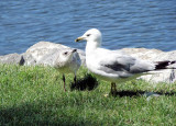 Ring-billed Gulls - adult and juvenile