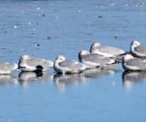 Iceland Gull (center) with Herring Gulls