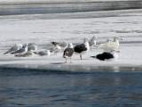 Glaucous Gull (far right)