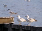 Bonaparte's and Ring-billed Gulls