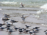 Terns and Gulls on the southernmost tip of Canada