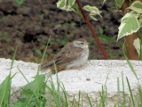 Chipping Sparrow (fledgling)