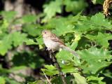 Field Sparrow (juvenile)