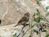 Song Sparrow (juvenile)