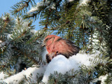 White-winged Crossbill