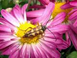 Flower Longhorn (Typocerus sp.)