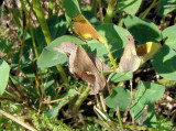 Celery Looper Moth (Anagrapha falcifera) Hodges #8924