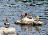 Common Mergansers (females)