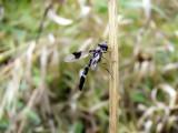 Hover Fly (Ocyptamus fascipennis)