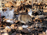 Mice and Voles (Family Cricetidae)