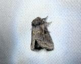 Common Gluphisia (Gluphisia septentrionis)  Hodges #7931