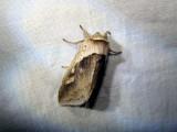 Cattail Borer (Bellura obliqua)   Hodges #9525