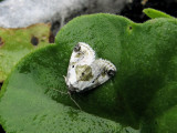 Black-dotted Maliattha (Maliattha synochitis)  Hodges #9049
