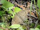 Northern Pearly Eye (Enodia anthedon)