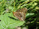 Great-spangled Fritillary (Speyeria cybele)