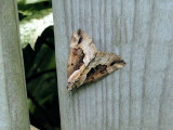 Baltimore Bomolocha Moth (Hypena baltimoralis)  Hodges #8442