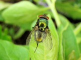 Blow Fly (Lucilia sp.)