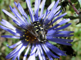 Hover fly (Eupeodes) on Aster