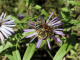 Hover fly (Eristalis dimidiata)