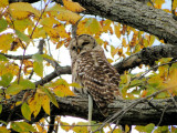 Barred Owl with Garter Snake