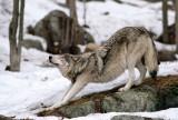 Wolf Stretching I