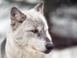 Wolf Close Up