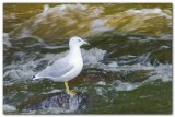 Seagull In Rapids