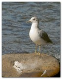 Seagull On A Rock I
