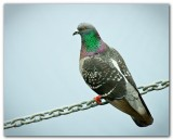 Pigeon On A Chain