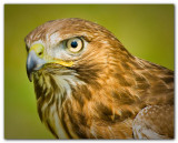 Red Tailed Hawk II