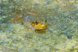 Green Frog DSC_5243-1.jpg