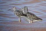 Minas Basin Shorebirds