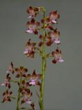 Cyrtopodium pallidum, spike