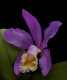 Cattleya loddigesii, botanic