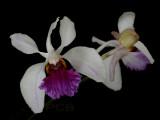 Holcoglossum kimballinum