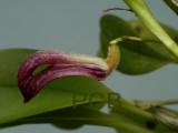 Zootrophion schenkii