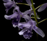 Cattleya bowringiana var. coerulea, botanic
