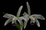 Cattleya perrinii semi-alba