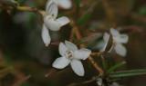 Glomera confusa, flowers 1 cm, Papua new G.