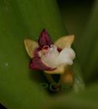 Cadetia transversiloba, Highland prov. Papua new G.