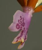 Oerstedella pinifera, back view lip