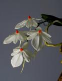 Aerangis rhodosticta, flowers 2 cm