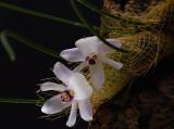 Isabelia virginalis, flowers nearly 1 cm