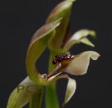 chiloglottis trapeziformis, Australia, flower 12-14 mm